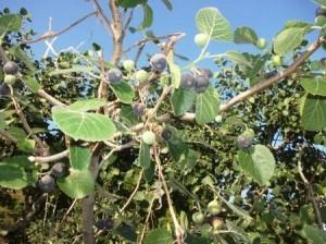 Himalayan Berry Bedu