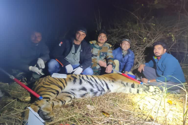 रीलोकेशन के लिए बाघ को किया ट्रैंकुलाइज, राजाजी नेशनल पार्क में किया शिफ्ट