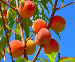 ओलों की मार से 50 फीसद गिरा सेब और आड़ू का उत्पादन